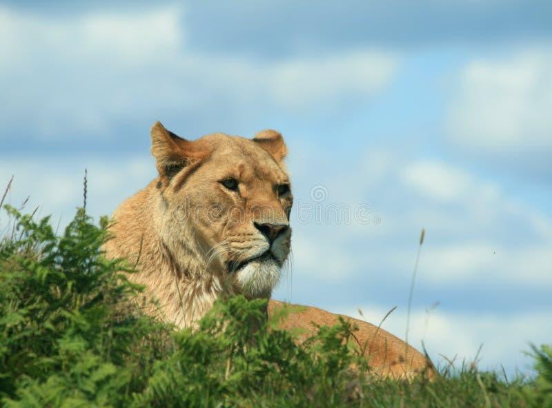 Lejoninna, ett kvinnligt lejon i djup tanke - sammanträde och vänta royaltyfri fotografi