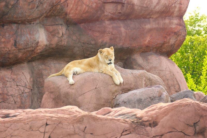 Lejoninna - ett kvinnligt lejon som vilar i den gjorda mannen, vaggar royaltyfri foto