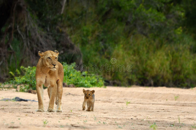 Lejoninna & gröngöling (pantheraen leo) arkivbilder