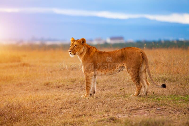 Lejoninna i den afrikanska savannet på solnedgången kenya arkivbild