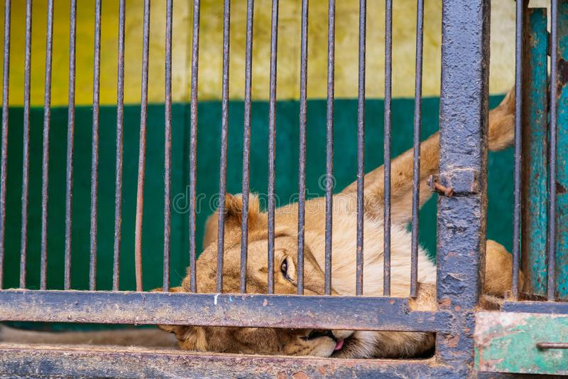 Lejoninna i fångenskap i en zoo bak stänger Makt och agression i buren arkivfoton