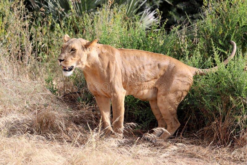 Lejoninna i Kenya arkivfoton