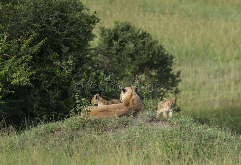 Lejoninna och två gröngölingar på en montering på masaien Mara Game Reserve, Kenya, royaltyfria foton
