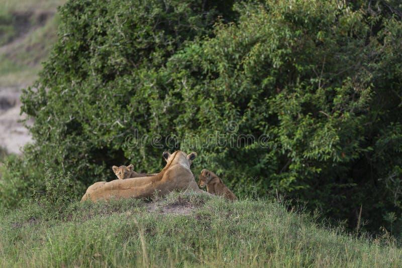 Lejoninna och två gröngölingar på masaien Mara Game Reserve, Kenya, royaltyfri fotografi