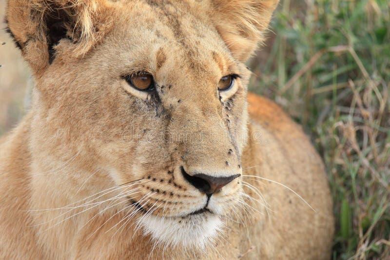 Lejoninna på den kenyanska savannahen royaltyfri foto