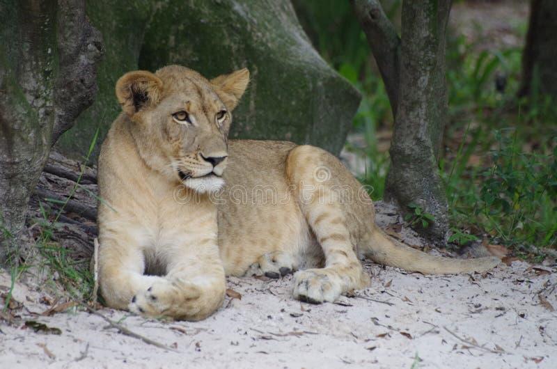 Lejoninna - Serengeti prärier royaltyfri fotografi