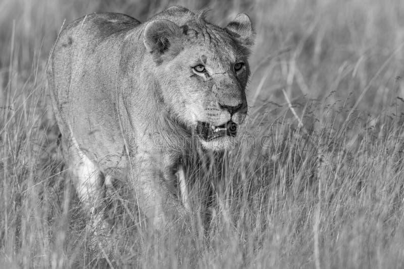 Lejoninna som förföljer i svartvitt royaltyfri fotografi