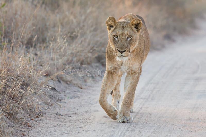 Lejoninna som försiktigt går längs en väg som ser uppmärksamt framåt arkivfoto