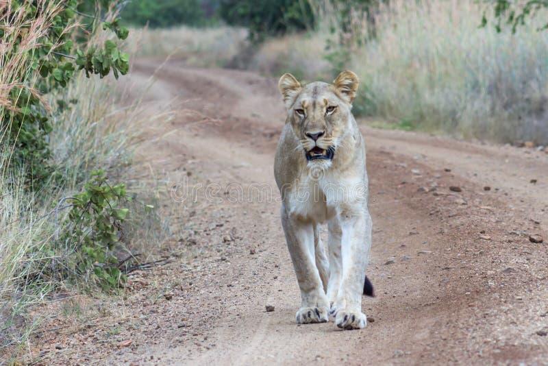 Lejoninna som går på en grusväg royaltyfri bild