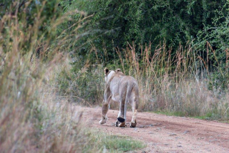 Lejoninna som går på en grusväg royaltyfria foton