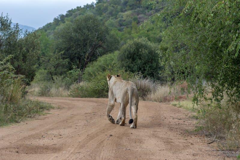 Lejoninna som går på en grusväg arkivbild