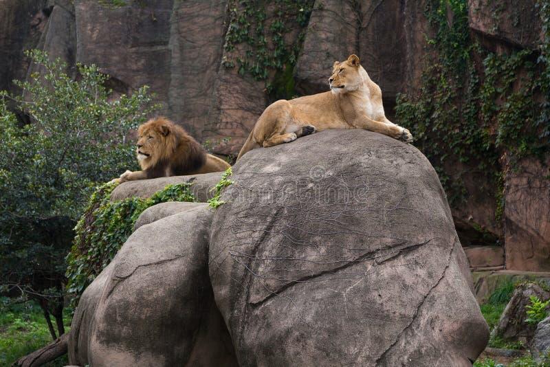 Lejoninna som ligger på den stora stenblocket som dominerar det manliga lejonet fotografering för bildbyråer