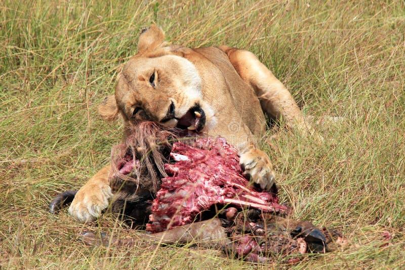 Lejoninna som matar på en gnu royaltyfri fotografi