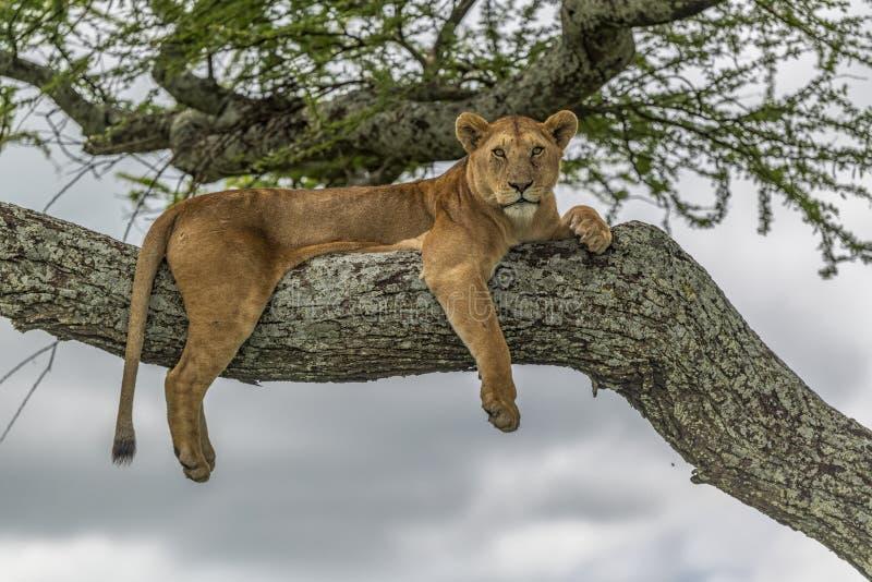Lejoninna som vilar höjdpunkt upp på en filial av ett akaciaträd royaltyfri bild