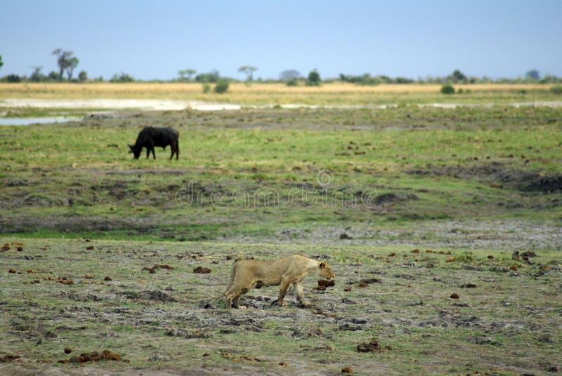 Lejoninnajakt i Botswana arkivbilder