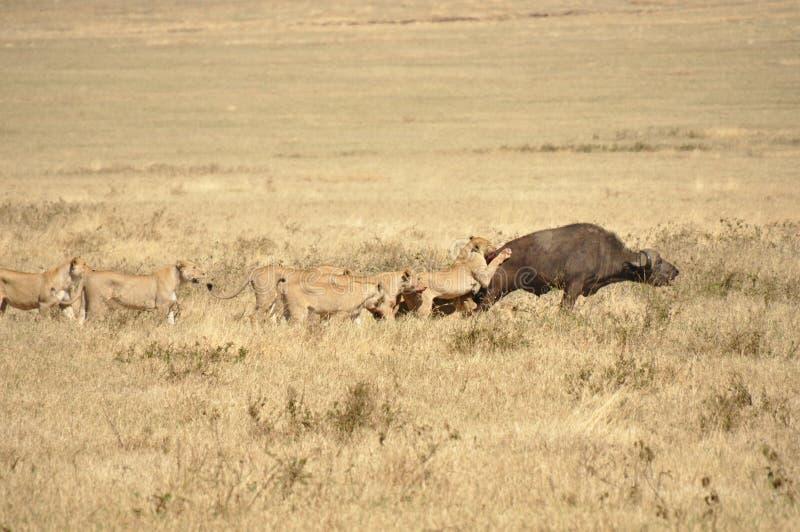 Lejoninnor som anfaller en vattenbuffel royaltyfria bilder