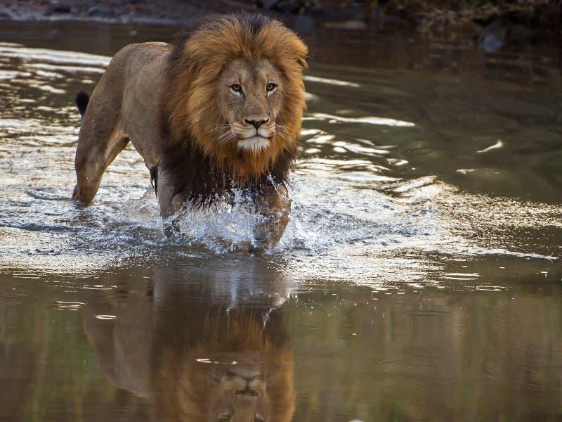 Lejonkorsning flod royaltyfria bilder