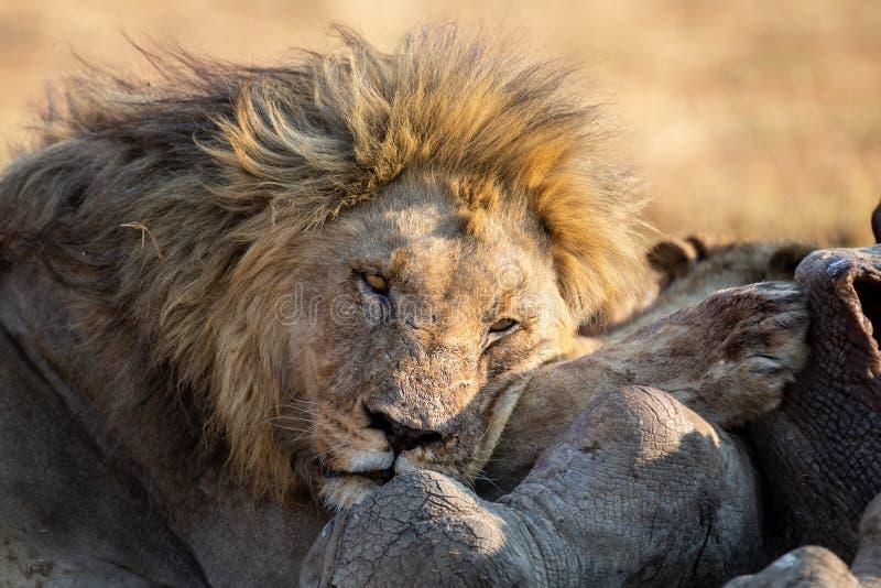 Lejonmannen med en enorm man vilar på kadavret som den har ätit arkivfoton