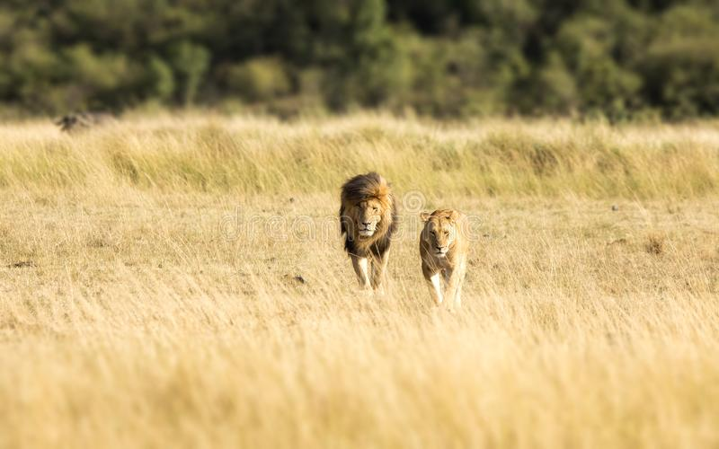 Lejonpar i masaien Mara royaltyfri foto