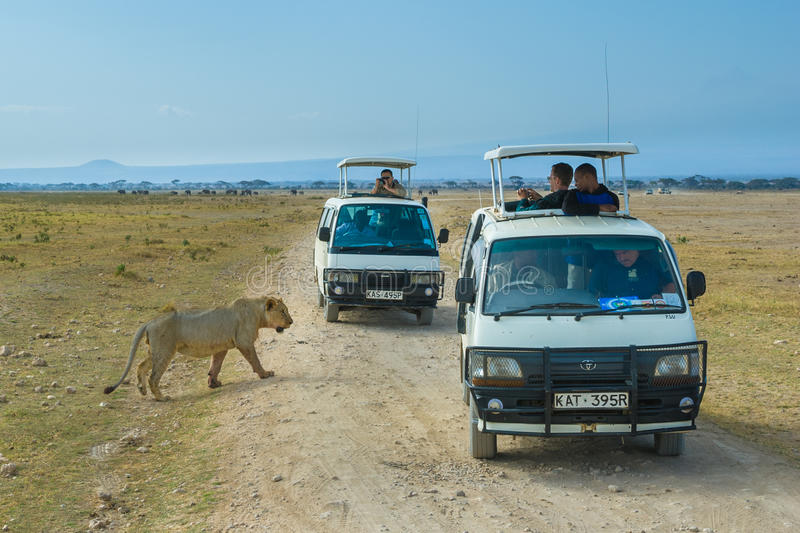 Lejonsafari i den Amboseli nationalparken, Kenya fotografering för bildbyråer