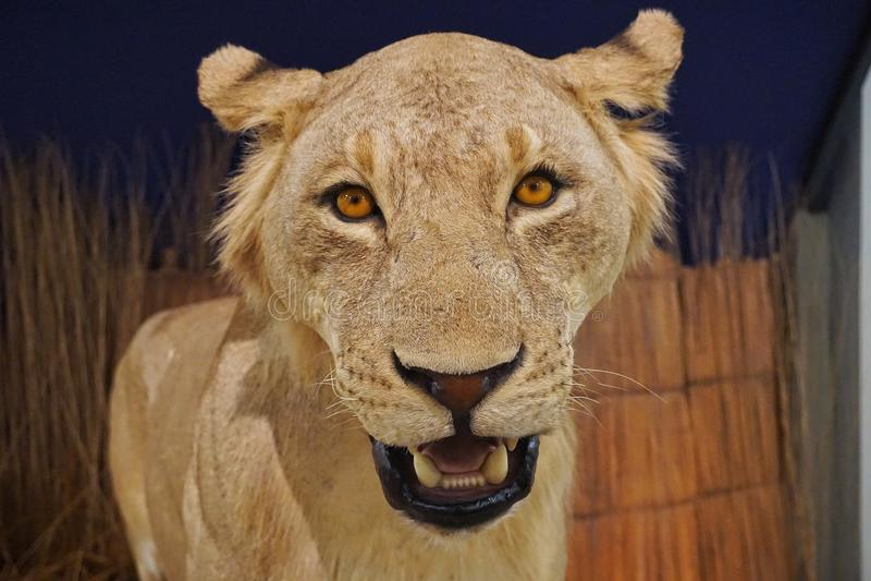 Lejonskärm i det The Field museet royaltyfria foton