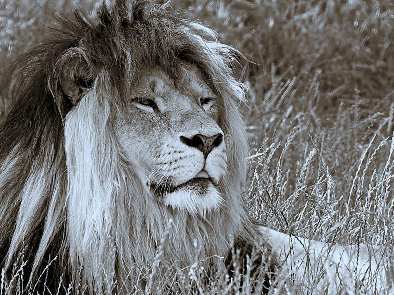 Lejonslut upp i blå brunt fotografering för bildbyråer