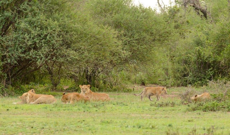 Lejonstolthet som vilar i serengetien arkivfoto
