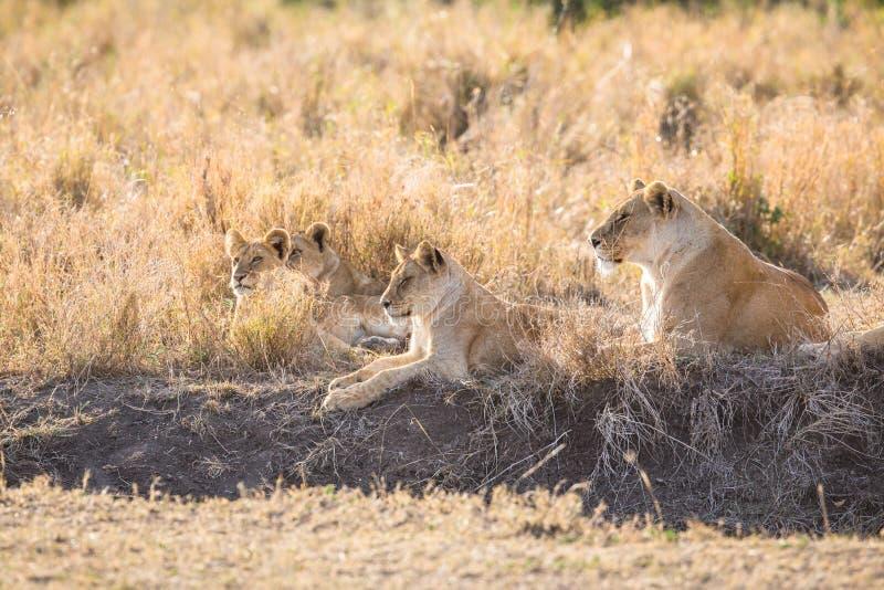 Lejonstolthet vilar i gräset arkivfoto
