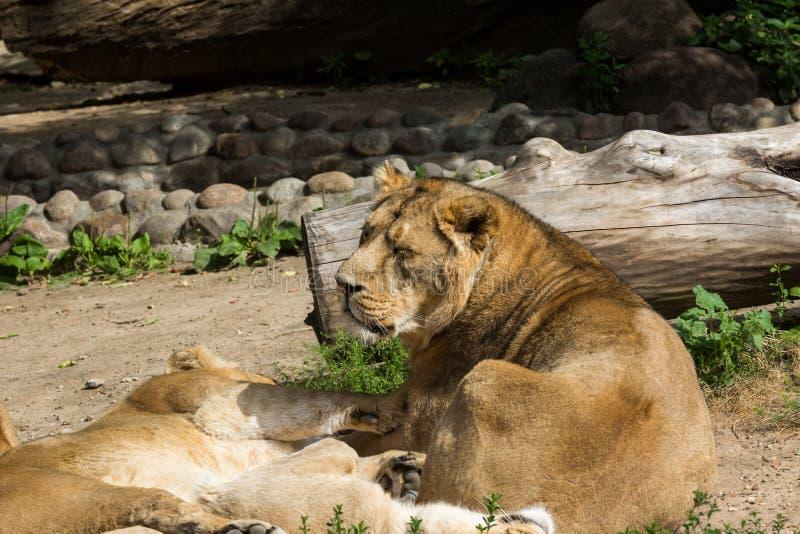Lejonstolthet vilar, når den har jagat royaltyfri foto