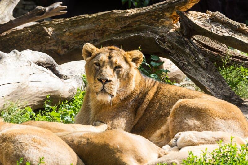 Lejonstolthet vilar, når den har jagat royaltyfria foton