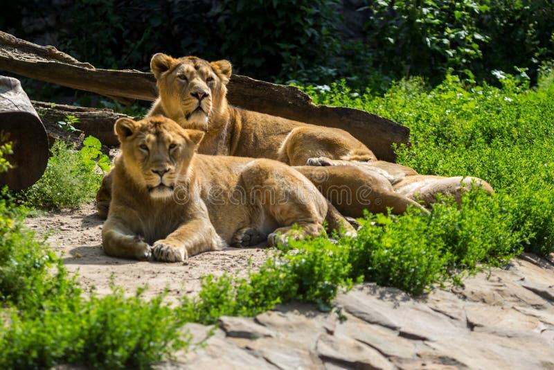 Lejonstolthet vilar, når den har jagat royaltyfria bilder