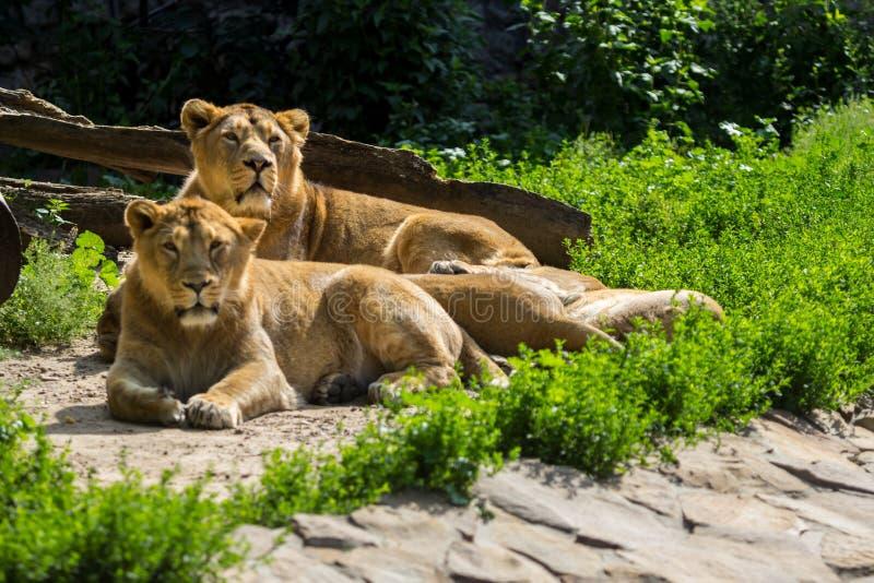 Lejonstolthet vilar, når den har jagat royaltyfri bild