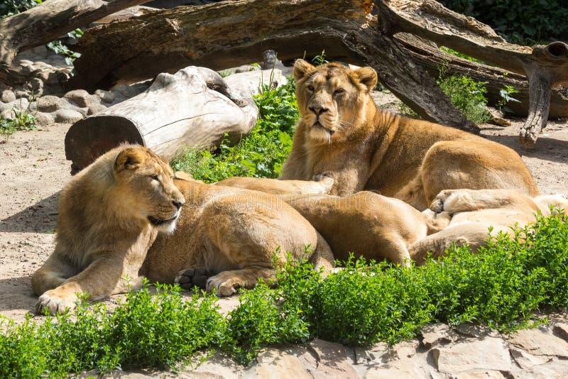 Lejonstolthet vilar, når den har jagat royaltyfri fotografi