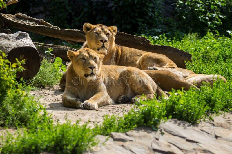 Lejonstolthet vilar, når den har jagat arkivfoton