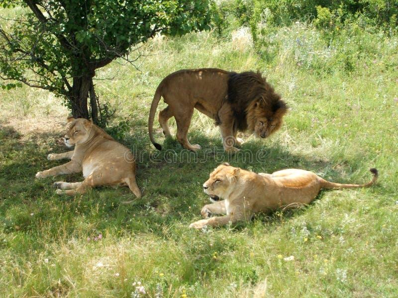 Lejonstoltheten vilar royaltyfri fotografi