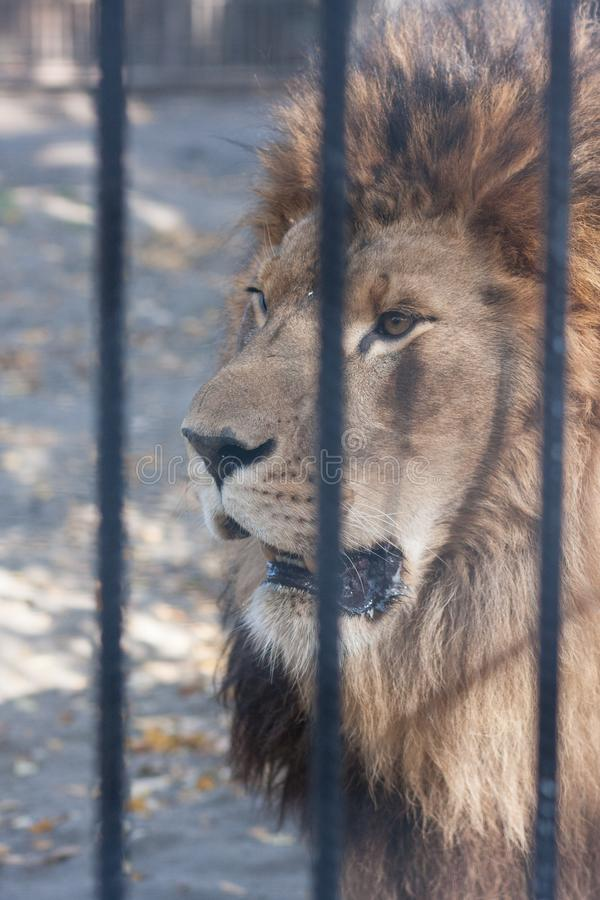 Lejonzoo lejon bak den sket stångrovdjuret vertikalt arkivfoto