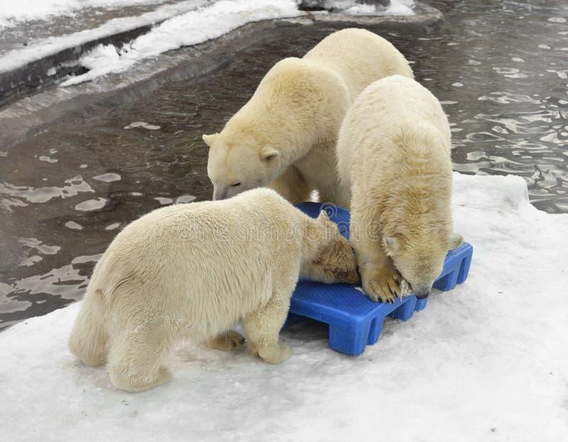 Lek för tre isbjörnar royaltyfria bilder