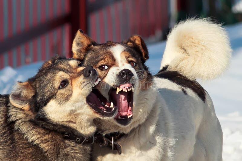 Lek för två hundkapplöpning i snön royaltyfria bilder