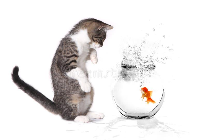 leka för guldfiskkattunge royaltyfri bild