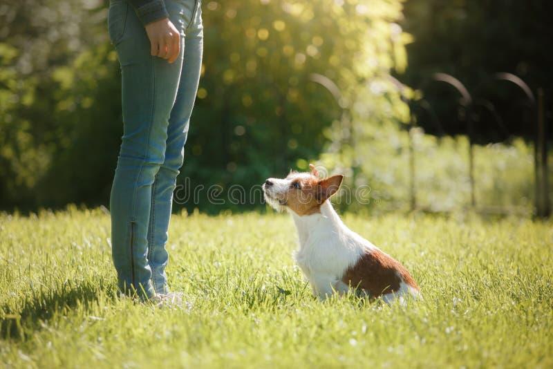 leka för hundflicka Jack Russell Terrier i natur Sommar royaltyfri bild