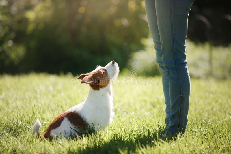 leka för hundflicka Jack Russell Terrier i natur Sommar royaltyfria foton