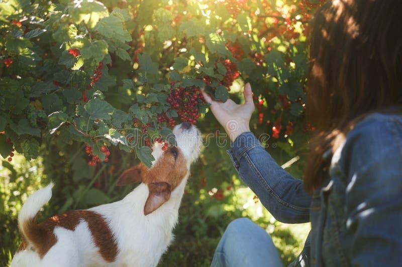 leka för hundflicka Jack Russell Terrier i natur Sommar arkivbild