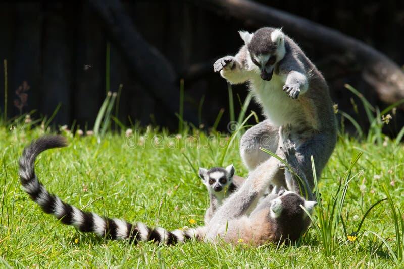 Leka för Ring-tailed lemur royaltyfria bilder