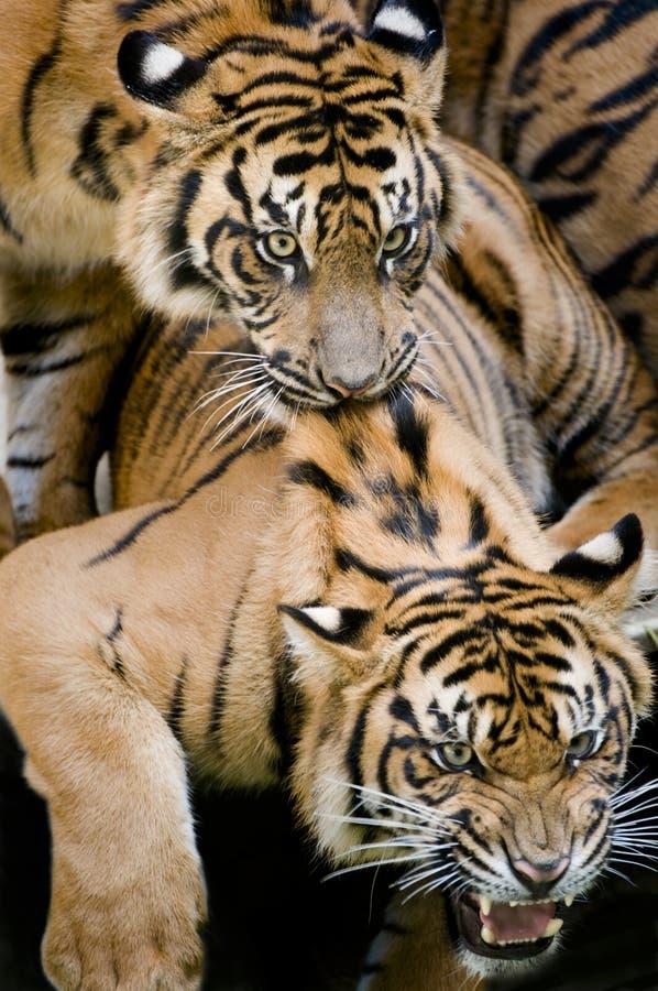 leka tigrar arkivfoton
