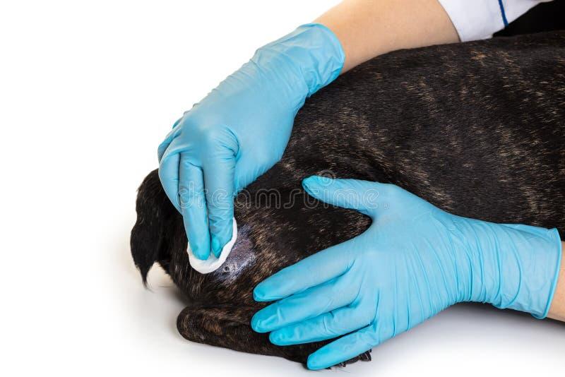 Lekarek ręki taktują pies ranę fotografia stock