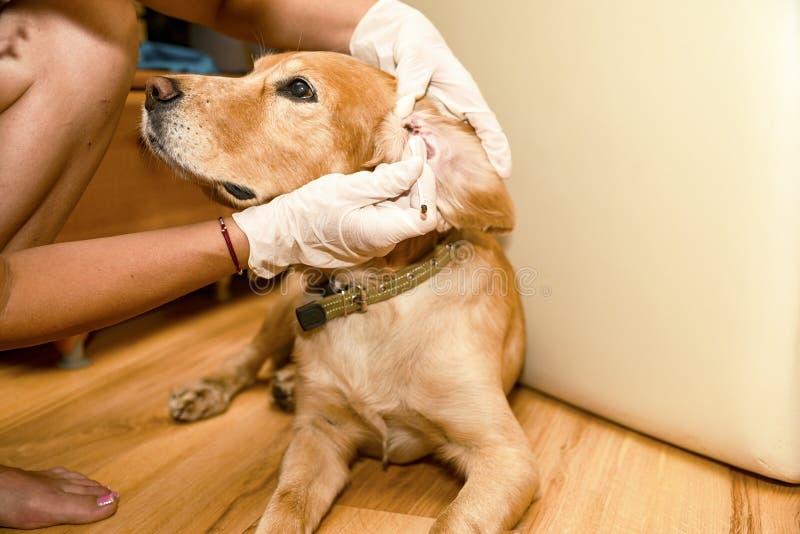 Lekarka czyści jego ucho z spanielem złoty kolor zdjęcia royalty free
