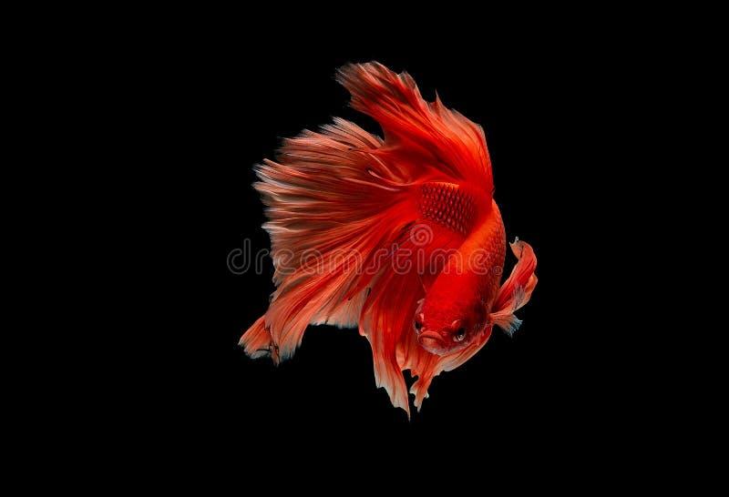Lekka czerwonego koloru boju Syjamska ryba, betta ryba odizolowywali na czarnym tle Ryby także akcja zwrot głowa w różnym obrazy royalty free