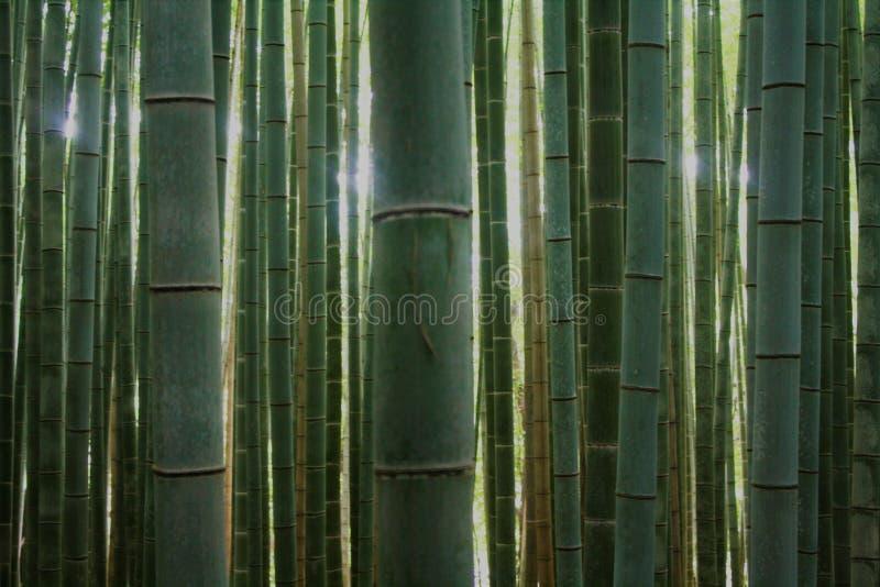 Lekka penetracja bambusowy las fotografia royalty free