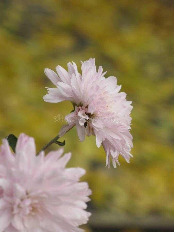 Lekki chryzantema kwiat obraz stock