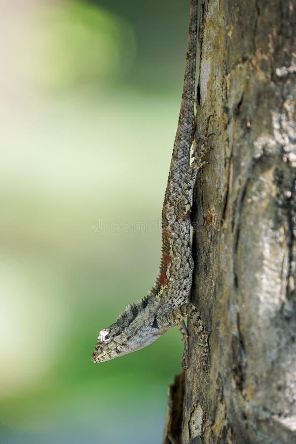 Lekki jaśnienie na oku błękitna czubata jaszczurka zdjęcie royalty free